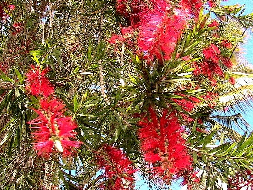 Derma center niaouli ses bienfaits derma center - Arbres a fleurs rouges ...