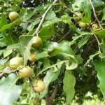 arbre et fruit du karité