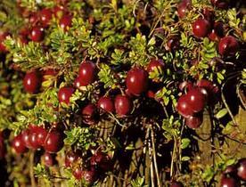 plan de cranberry
